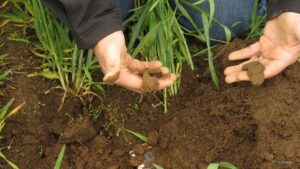 Figure 4. 'Ribbon-test' illustrating differences in soil texture between subsoil (left) and surface soil (right). (Photo by Liz Maynard)