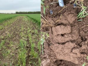 Figure 5 Plot where winter rye was tilled in mid-April, photo May 10. Left: surface; right: below-surface. (Photo by Joe Rorick).