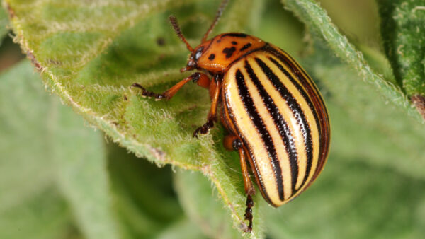 Time to Scout for Potato Beetles