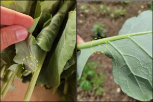 Figure 2. Egg masses of the cross-striped cabbageworm laid on collard greens.