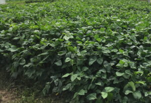 Figure 3. A cowpea cover crop in late September.