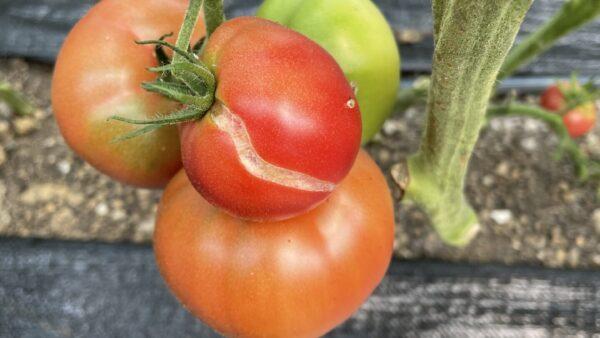Cracking Tomatoes