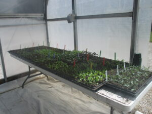 Cool-season vegetable transplants are growing in the corner of a high tunnel.