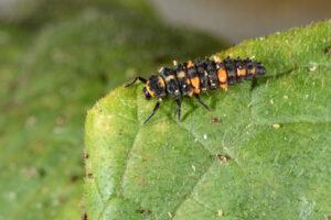Figure 4. Convergent ladybeetle larva. (Photo by John Obermeyer.)