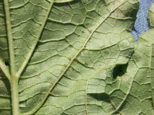 Figure 4. Another photo of the underside of a pumpkin leaf showing the spores along the vein.