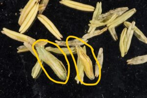 Figure 2. Syrphid fly larva pictured with corn anthers. (Photo by John Obermeyer.)