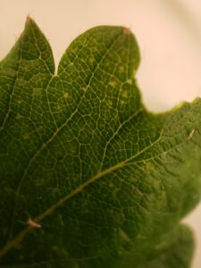 Figure 5. Stippling symptom resulting from spider mite feeding on the underside of the leaf.