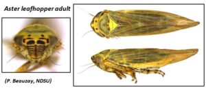 Aster leafhopper adult. Photo credit by P. Beauzay.