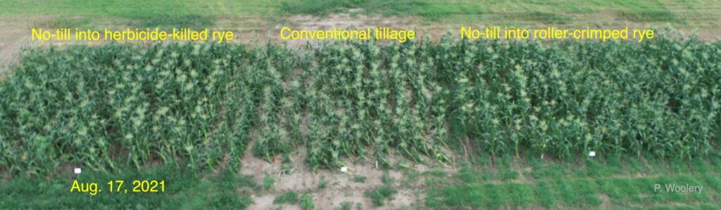 Aerial view of sweet corn plots